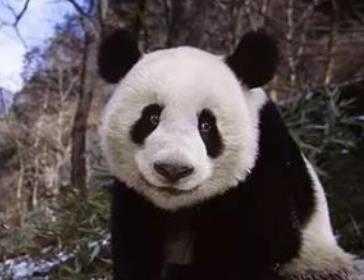 流浪熊猫app